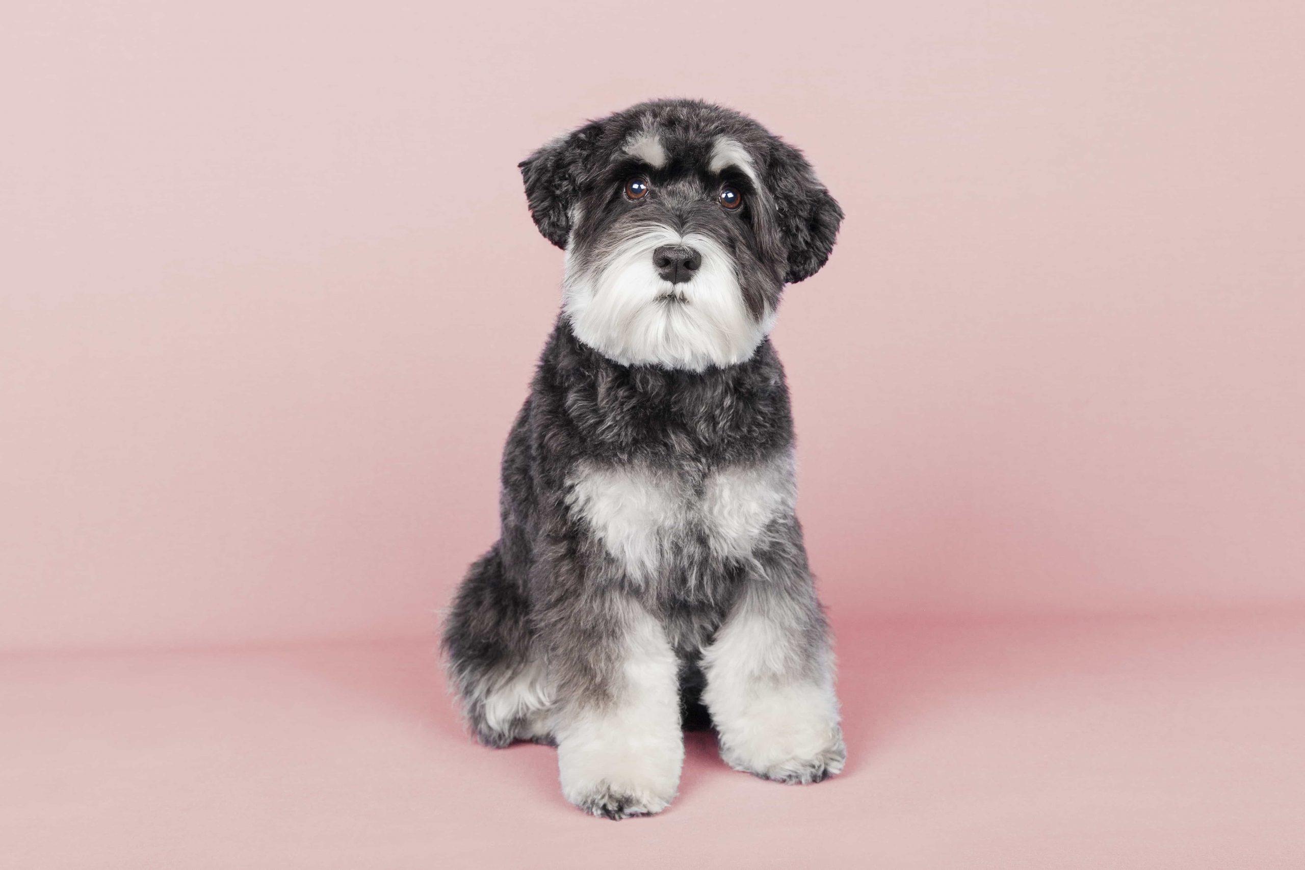 peluqueria canina corte estandar raza